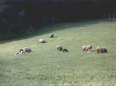 sheep flock2